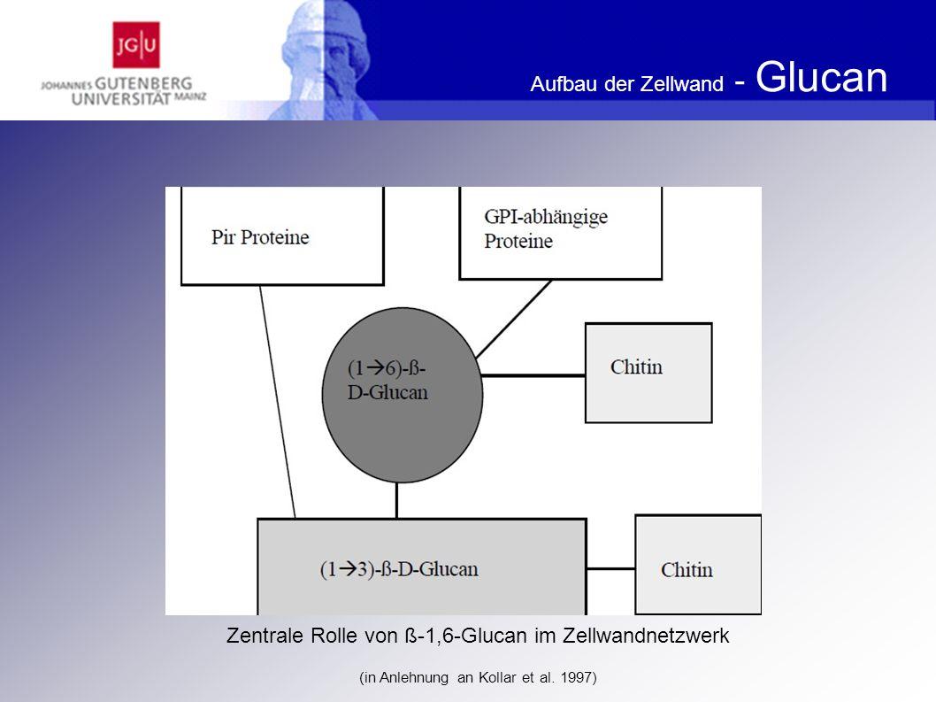 Aufbau der Zellwand - Glucan