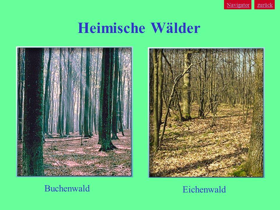 Navigator zurück Heimische Wälder Buchenwald Eichenwald
