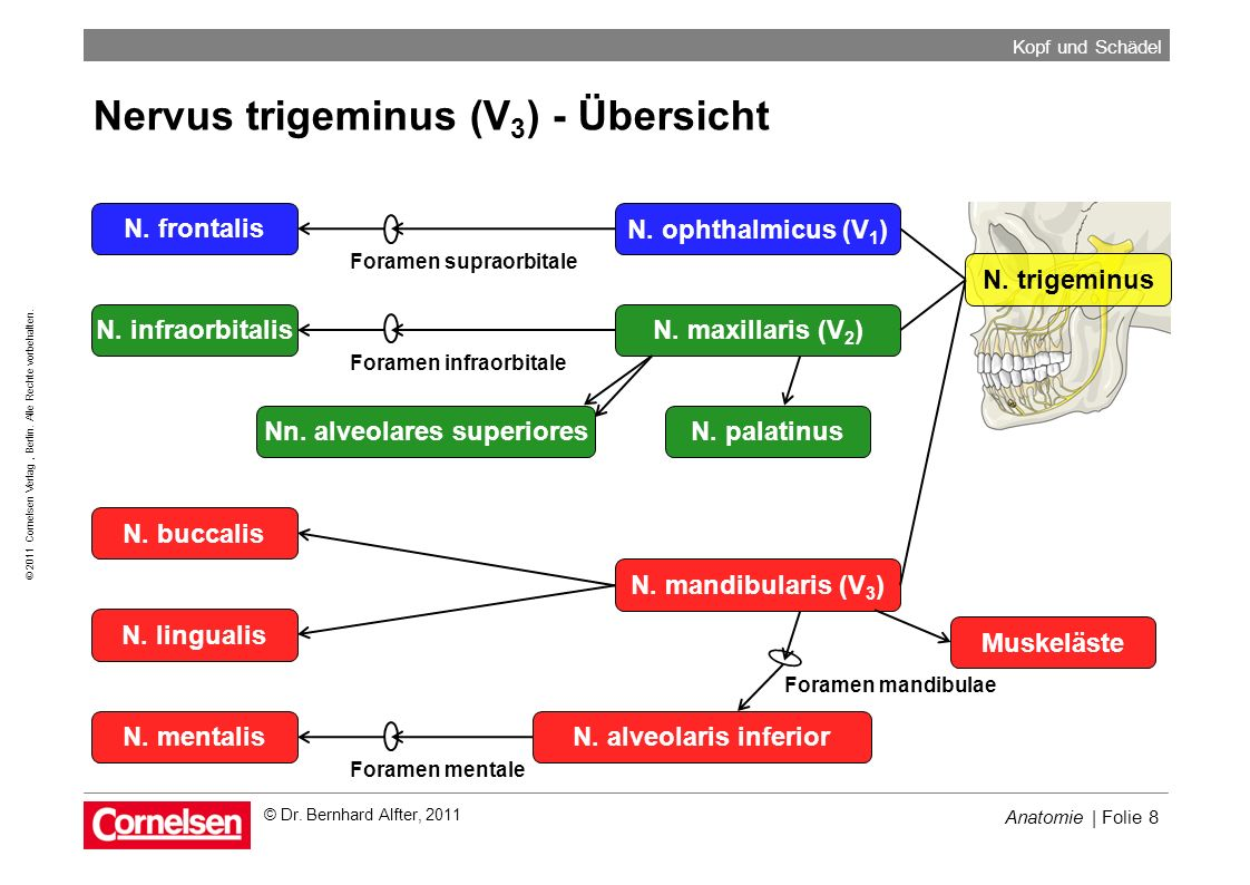Nn. alveolares superiores