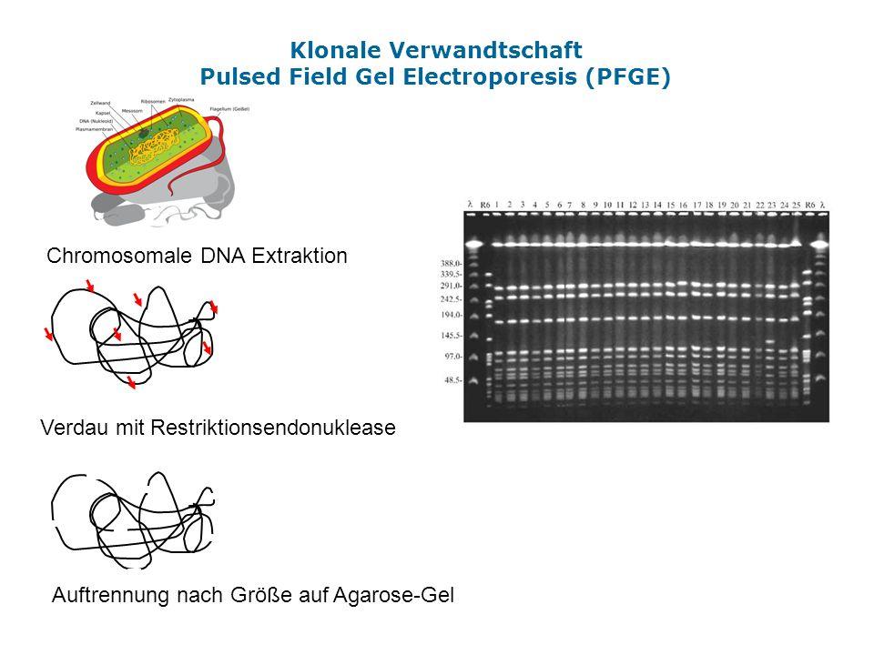 Klonale Verwandtschaft Pulsed Field Gel Electroporesis (PFGE)