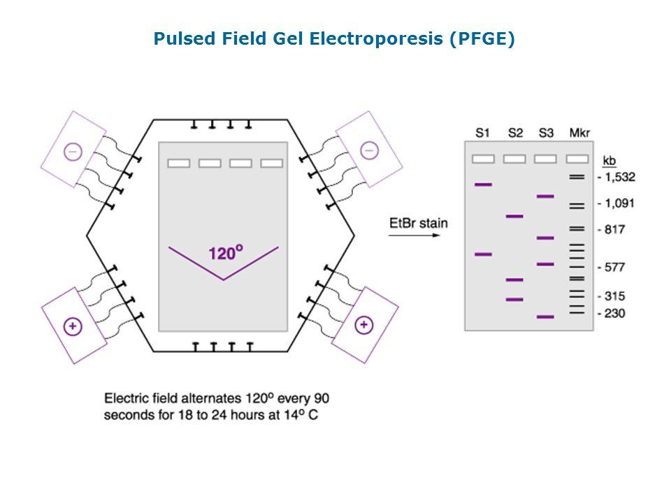 Pulsed Field Gel Electroporesis (PFGE)
