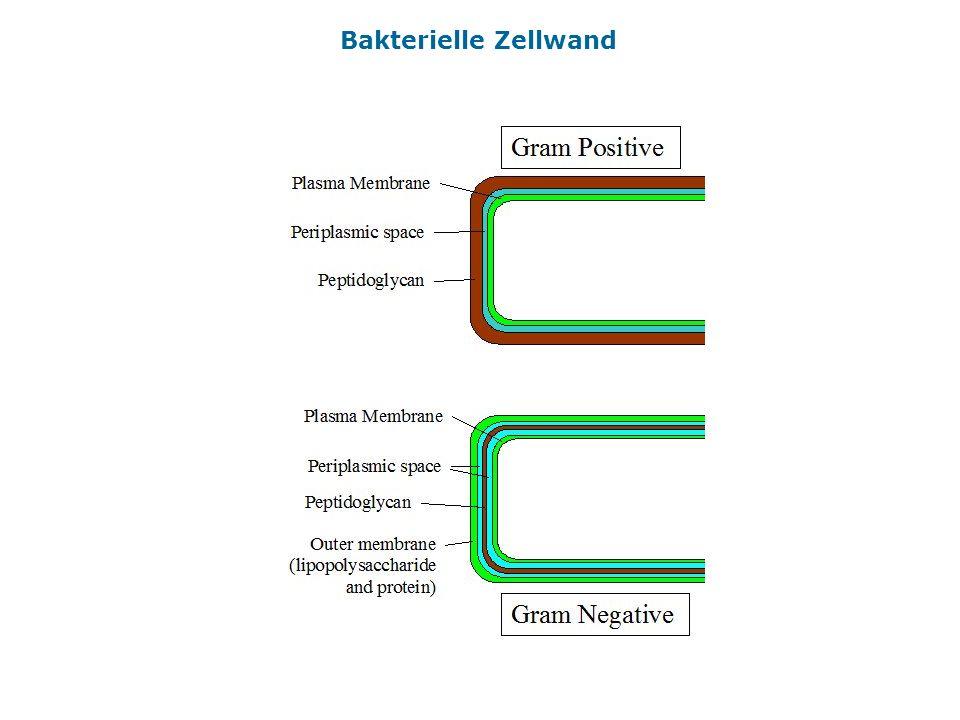 Bakterielle Zellwand