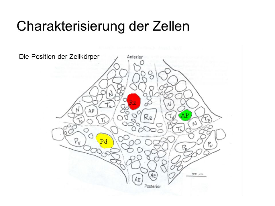 Charakterisierung der Zellen