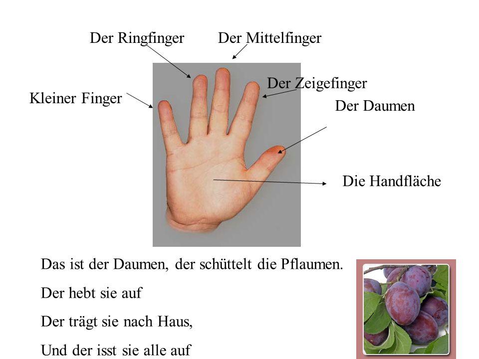 Der Ringfinger Der Mittelfinger. Der Zeigefinger. Kleiner Finger. Der Daumen. Die Handfläche. Das ist der Daumen, der schüttelt die Pflaumen.
