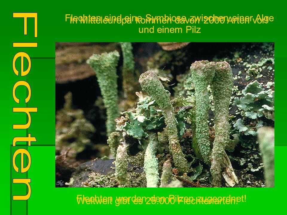 Flechten sind eine Symbiose zwischen einer Alge und einem Pilz