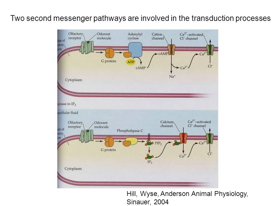 Two second messenger pathways are involved in the transduction processes
