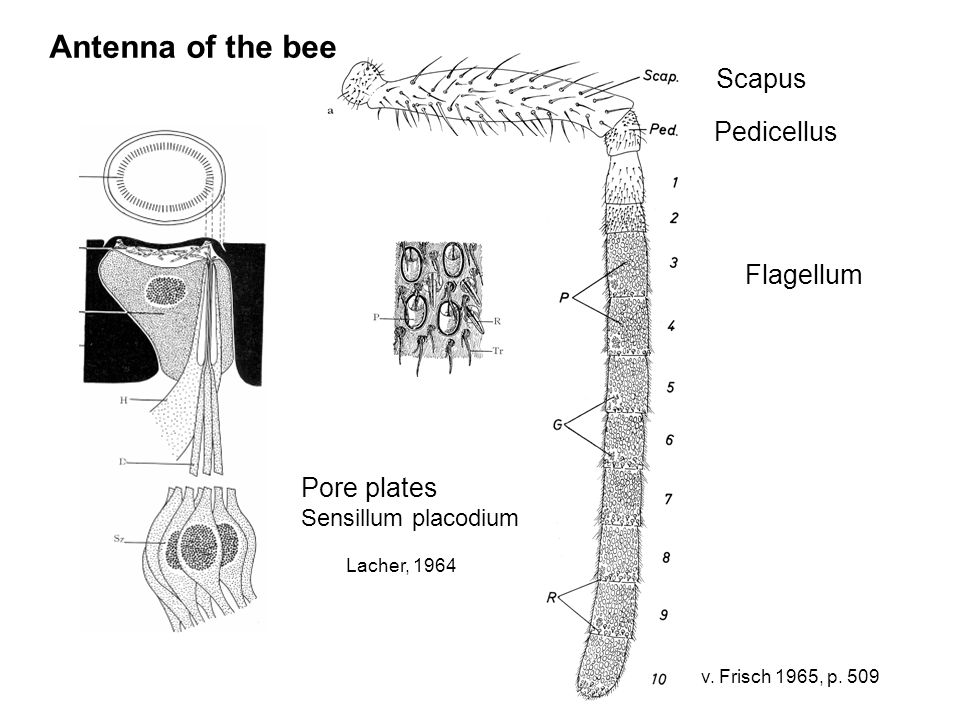 Antenna of the bee Scapus Pedicellus Flagellum Pore plates