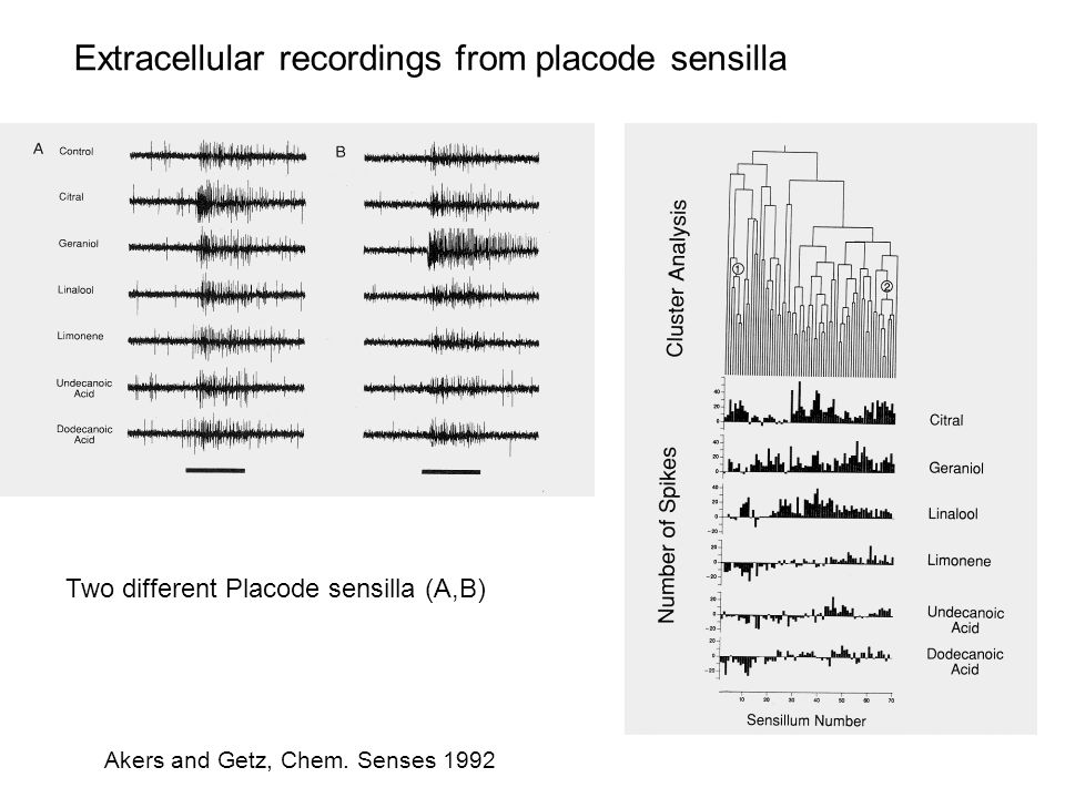 Extracellular recordings from placode sensilla