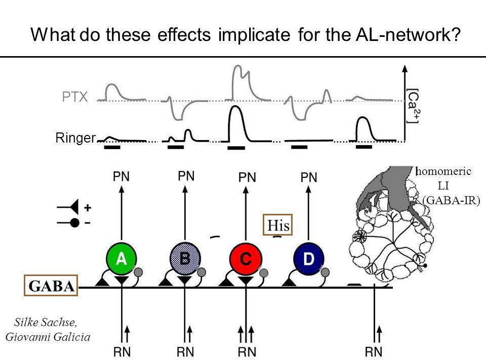 What do these effects implicate for the AL-network
