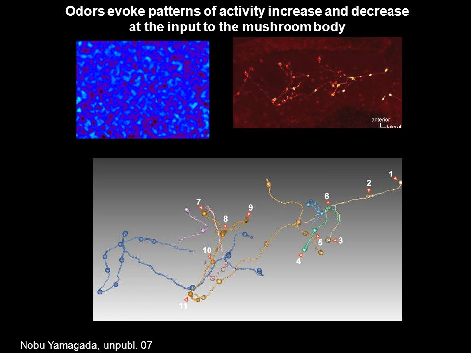 Odors evoke patterns of activity increase and decrease