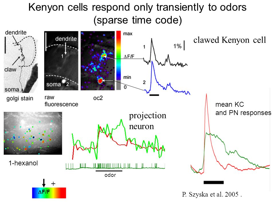 Kenyon cells respond only transiently to odors (sparse time code)