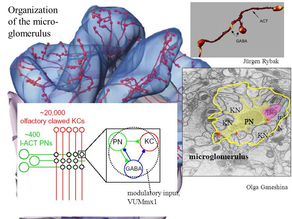 Organization of the micro- glomerulus microglomerulus KN DG inh PN N
