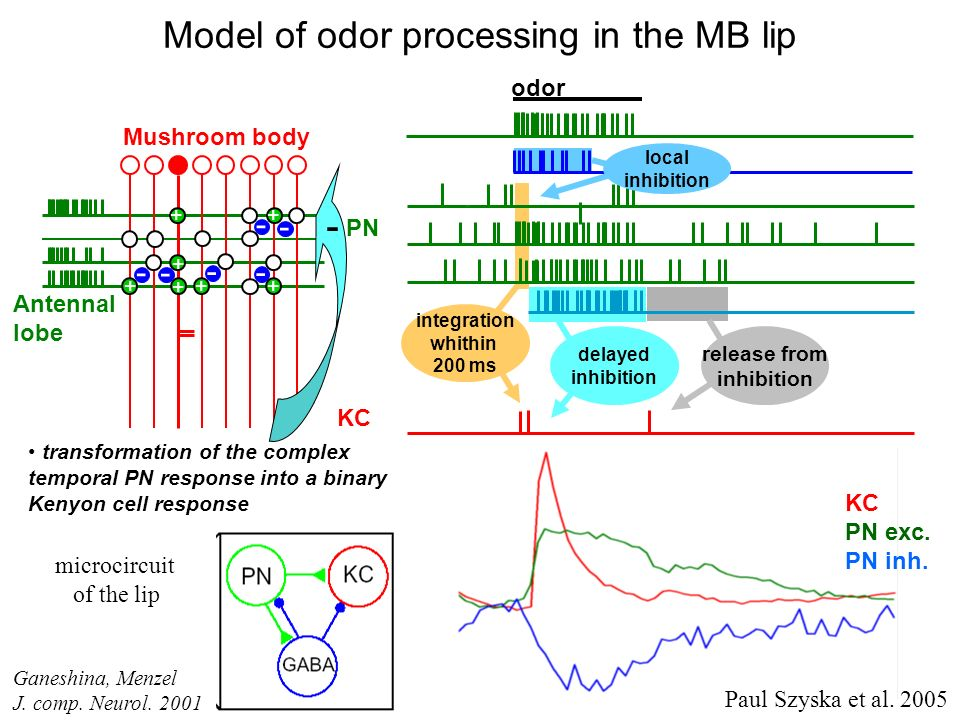 Model of odor processing in the MB lip
