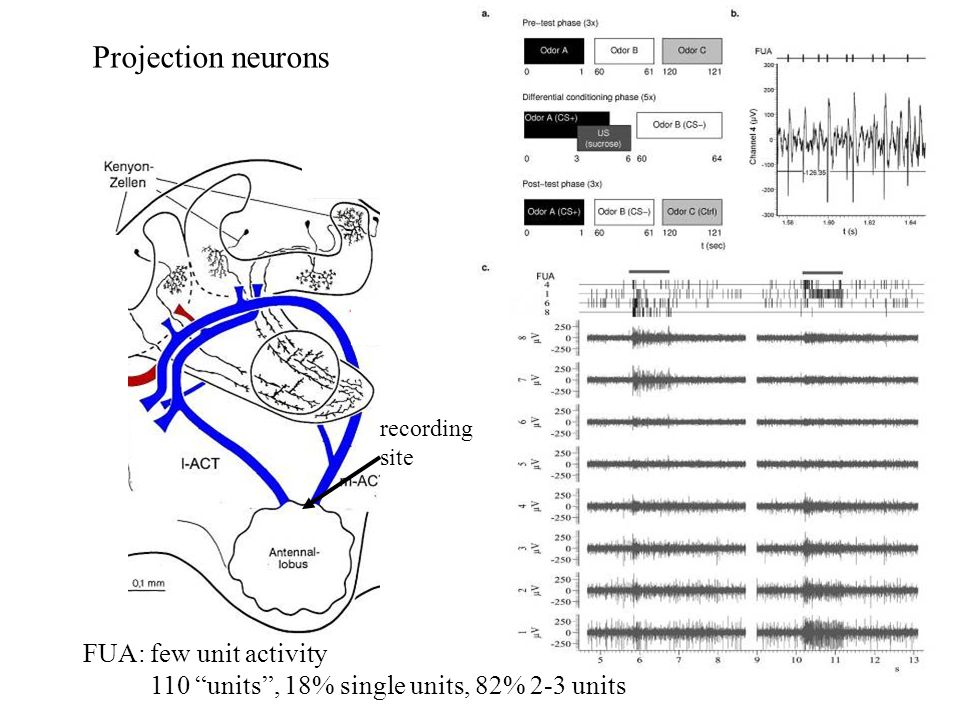 Projection neurons FUA: few unit activity