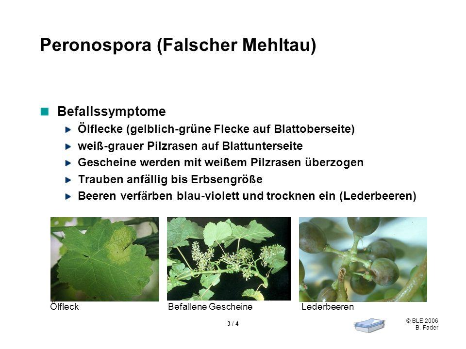 Peronospora (Falscher Mehltau)