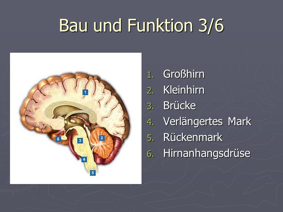 Bau und Funktion 3/6 Großhirn Kleinhirn Brücke Verlängertes Mark