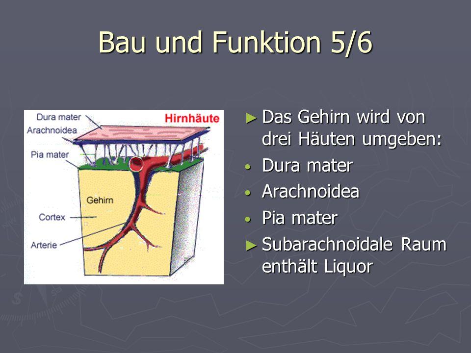 Bau und Funktion 5/6 Das Gehirn wird von drei Häuten umgeben: