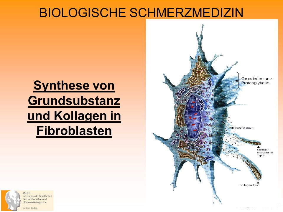 Synthese von Grundsubstanz und Kollagen in Fibroblasten