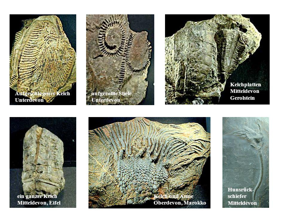 Fossilien Kelchplatten Mitteldevon Gerolstein