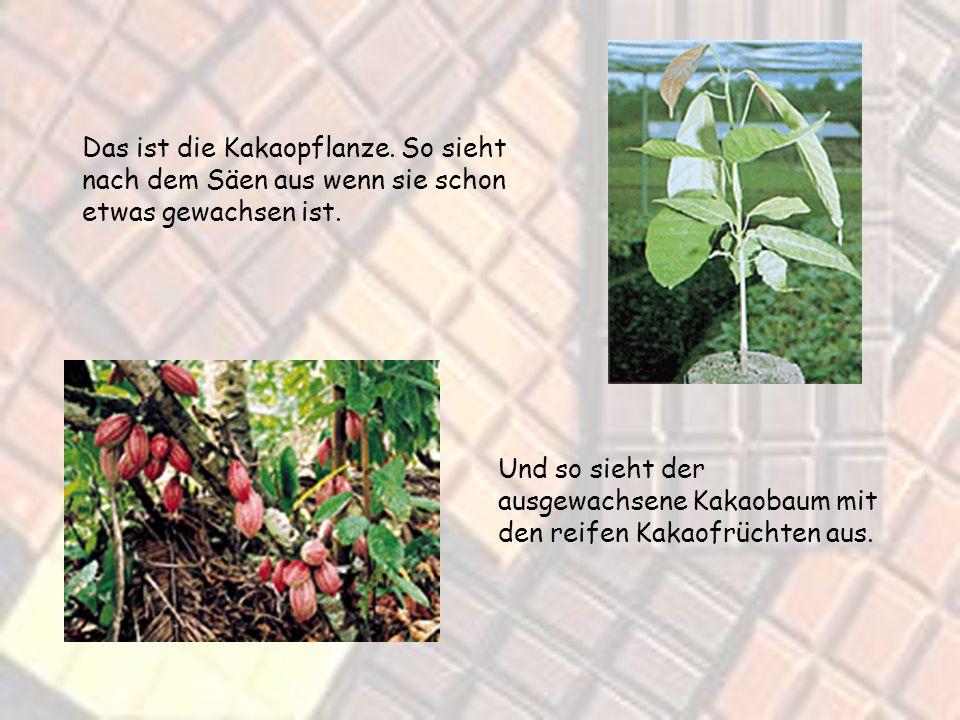 Das ist die Kakaopflanze