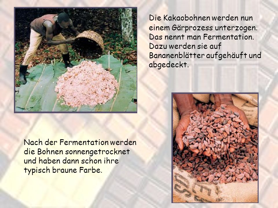 Die Kakaobohnen werden nun einem Gärprozess unterzogen
