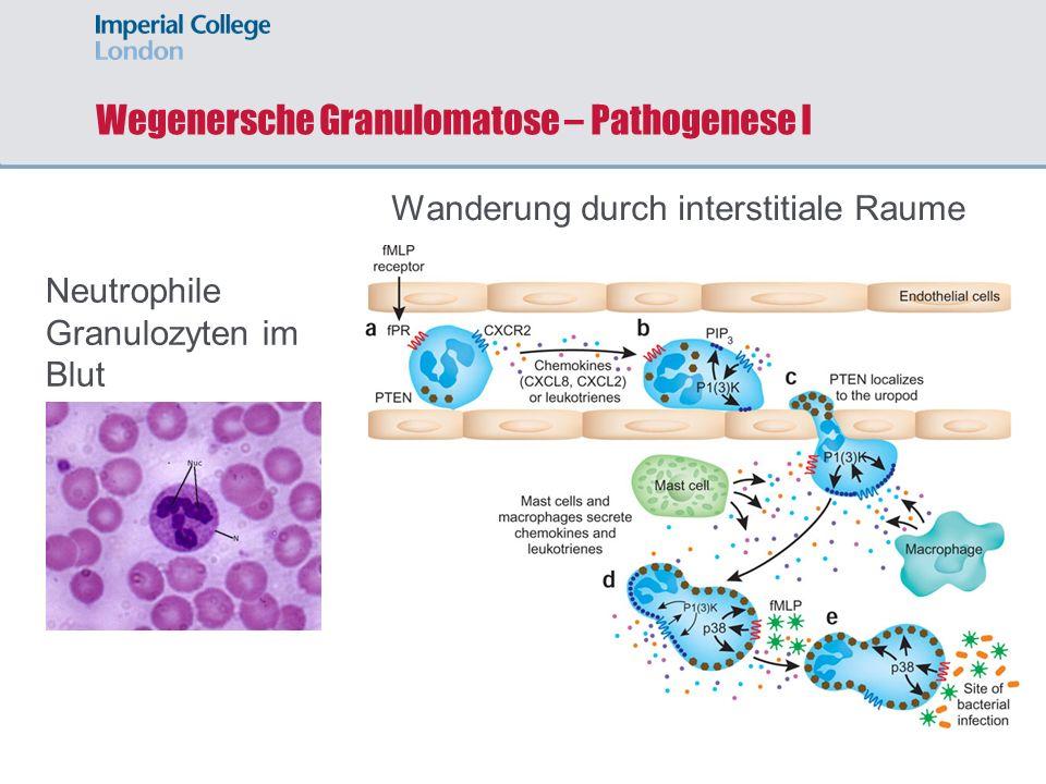 Wegenersche Granulomatose – Pathogenese I