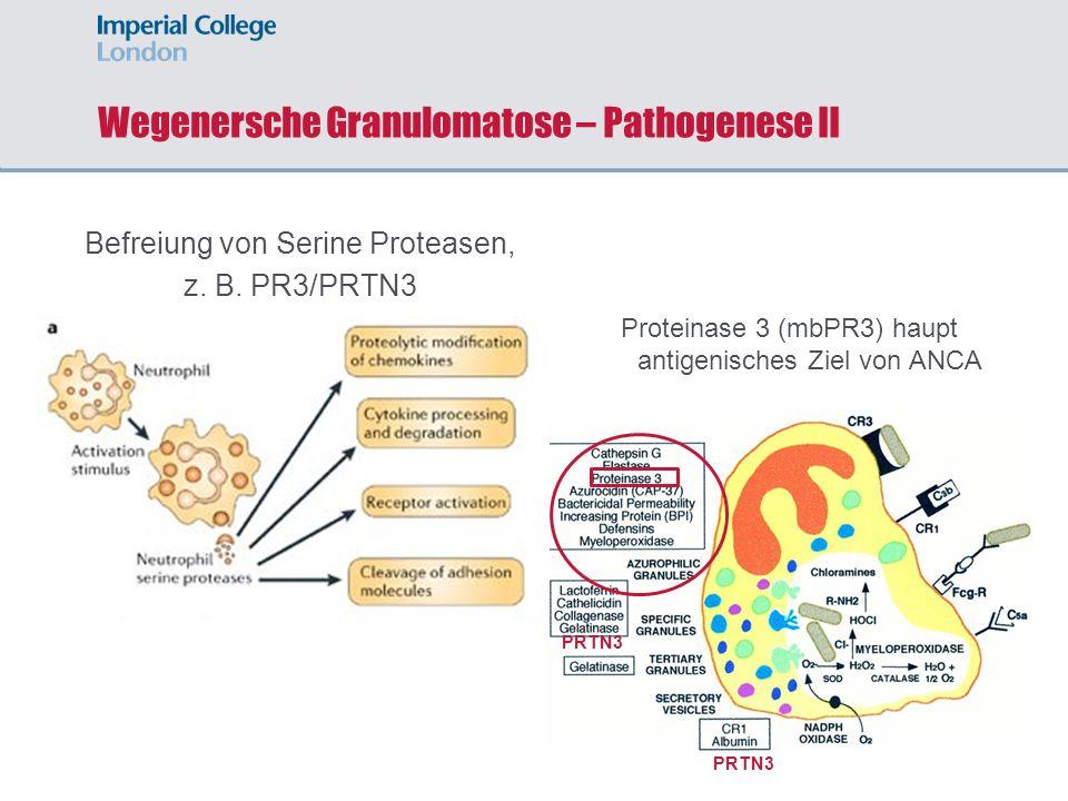 Wegenersche Granulomatose – Pathogenese II