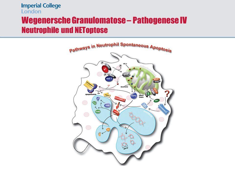Wegenersche Granulomatose – Pathogenese IV Neutrophile und NEToptose