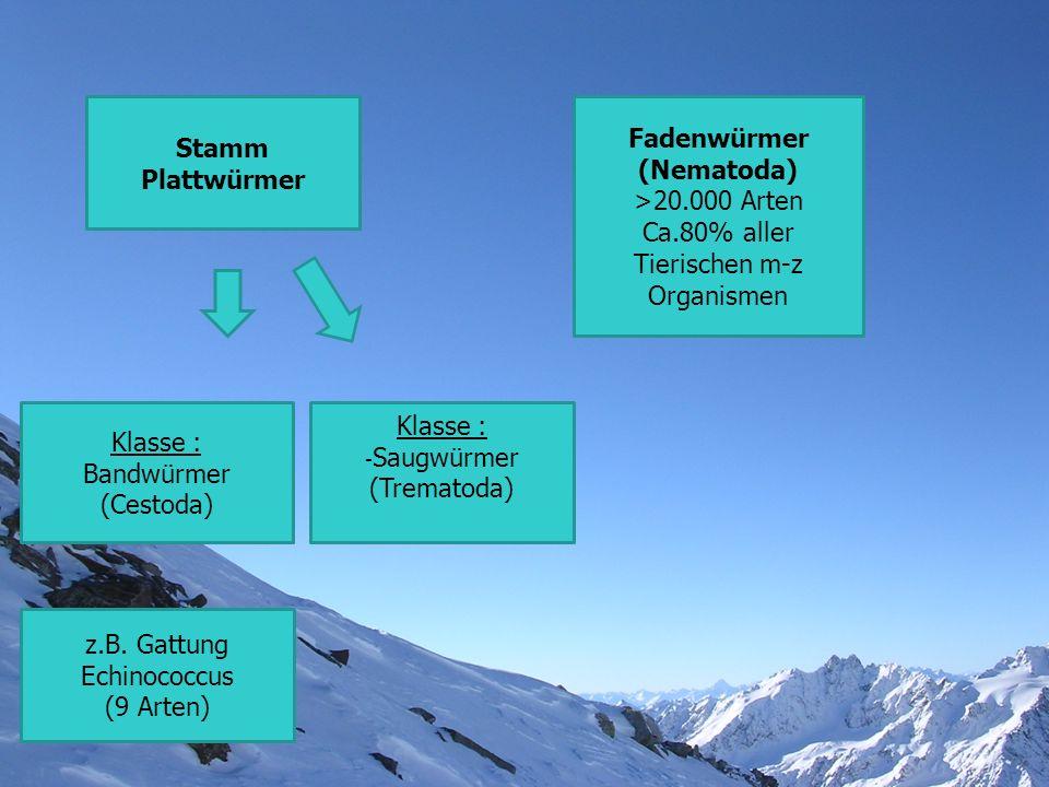 Stamm Plattwürmer Fadenwürmer (Nematoda)