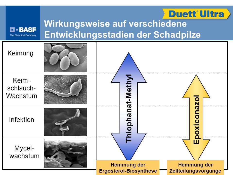 Ergosterol-Biosynthese Zellteilungsvorgänge