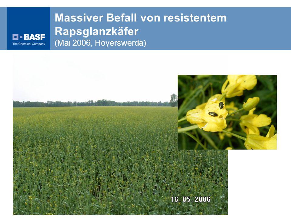 Massiver Befall von resistentem Rapsglanzkäfer (Mai 2006, Hoyerswerda)