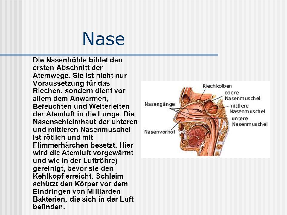 Die Nasenhöhle bildet den ersten Abschnitt der Atemwege
