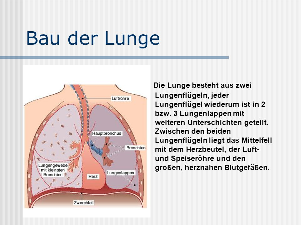 Bau der Lunge