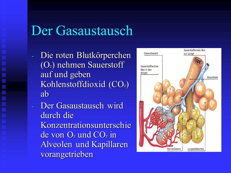 Der Gasaustausch Die roten Blutkörperchen (O²) nehmen Sauerstoff auf und geben Kohlenstoffdioxid (CO²) ab.