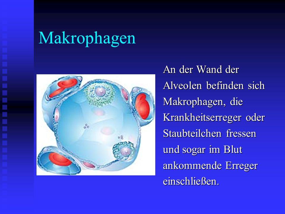 Makrophagen An der Wand der Alveolen befinden sich Makrophagen, die