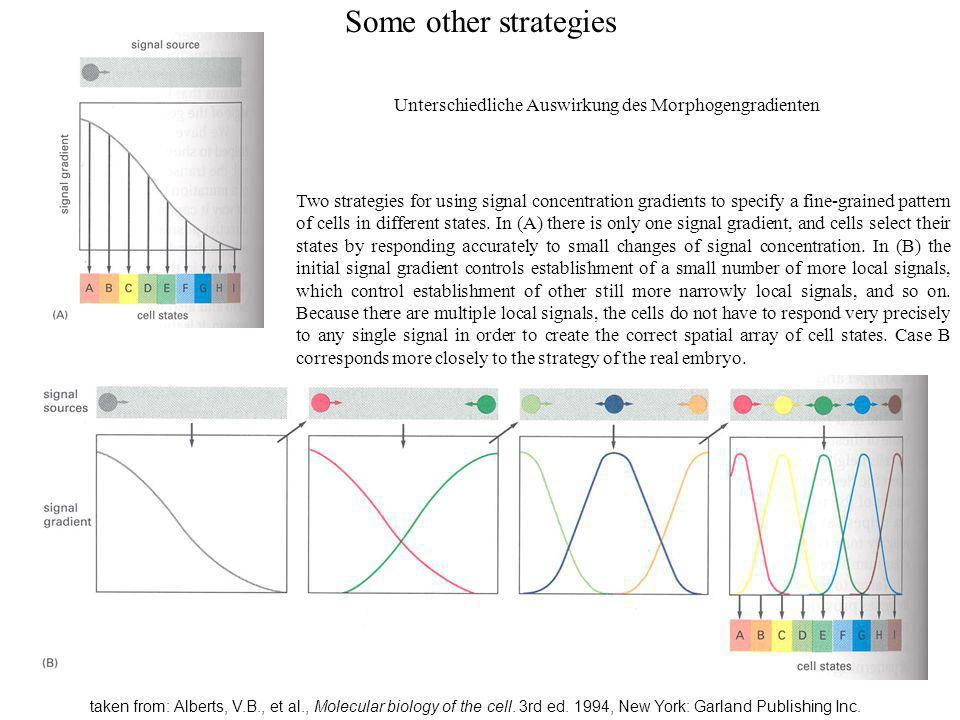 Some other strategies Unterschiedliche Auswirkung des Morphogengradienten.