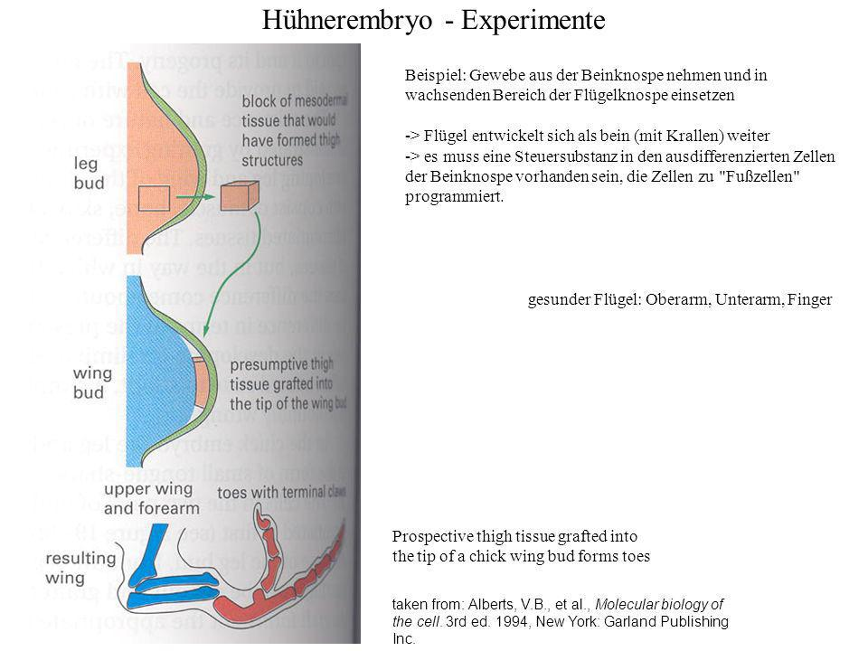 Hühnerembryo - Experimente