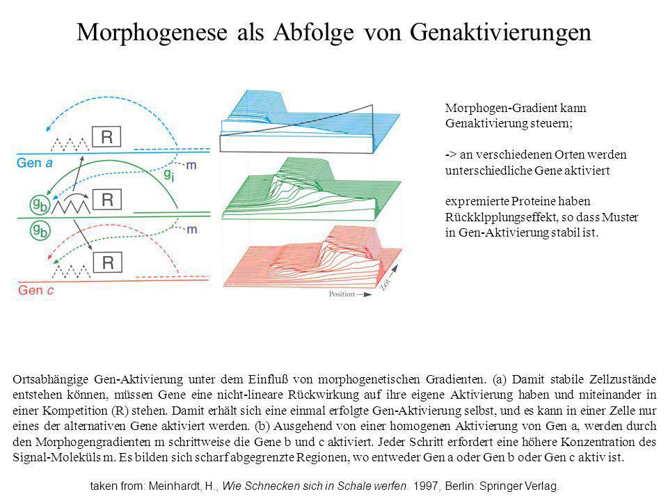 Morphogenese als Abfolge von Genaktivierungen