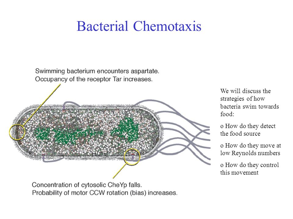 Bacterial ChemotaxisWe will discuss the strategies of how bacteria swim towards food: o How do they detect the food source.