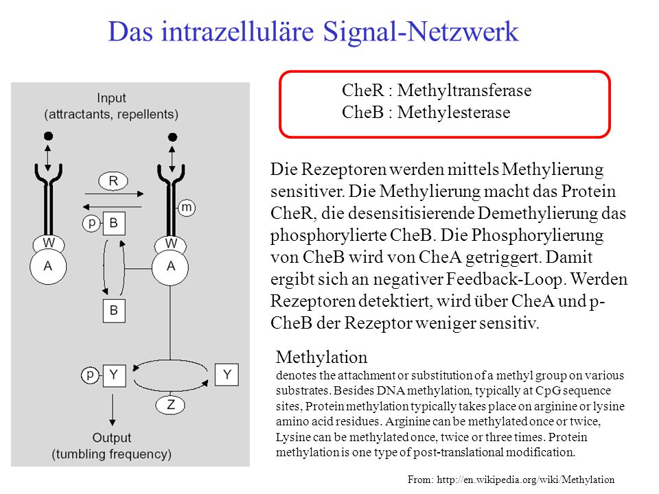 Das intrazelluläre Signal-Netzwerk