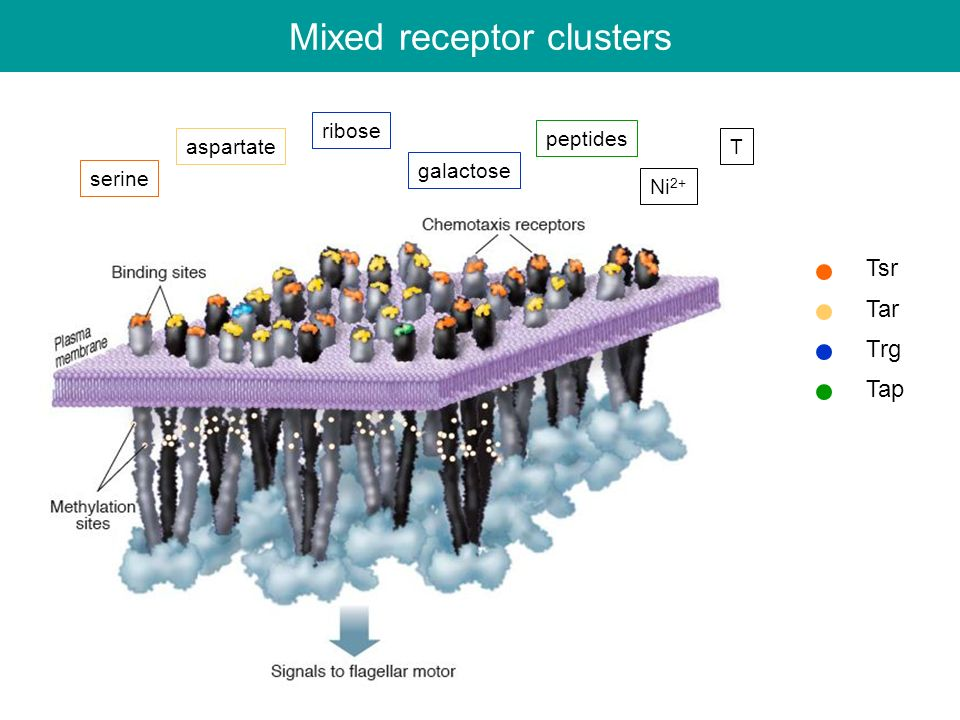 Mixed receptor clusters