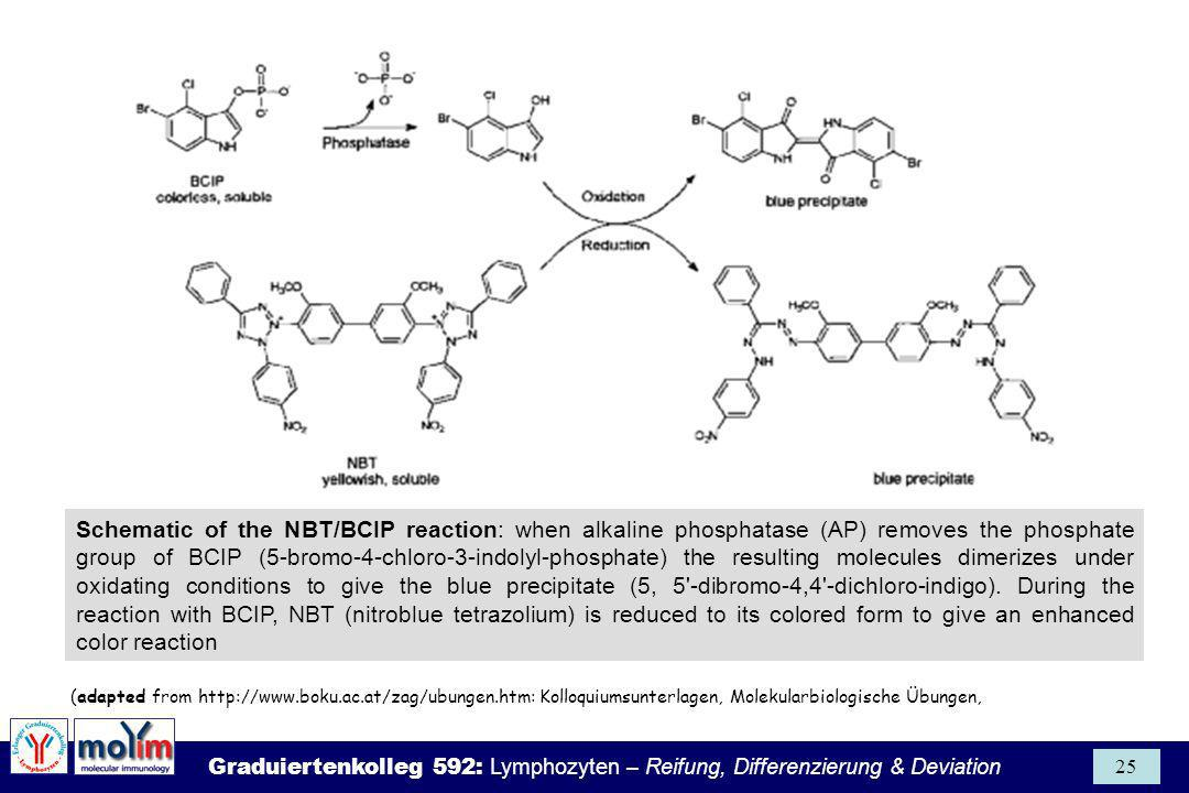 Schematic of the NBT/BCIP reaction: when alkaline phosphatase (AP) removes the phosphate group of BCIP (5-bromo-4-chloro-3-indolyl-phosphate) the resulting molecules dimerizes under oxidating conditions to give the blue precipitate (5, 5 -dibromo-4,4 -dichloro-indigo). During the reaction with BCIP, NBT (nitroblue tetrazolium) is reduced to its colored form to give an enhanced color reaction
