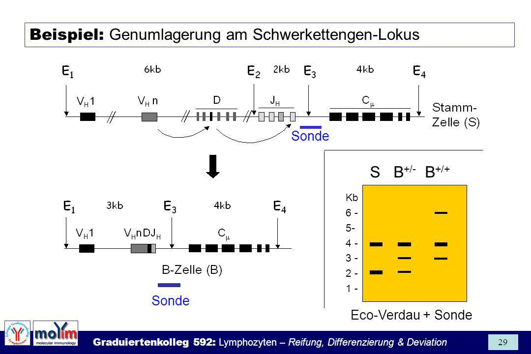 Beispiel: Genumlagerung am Schwerkettengen-Lokus