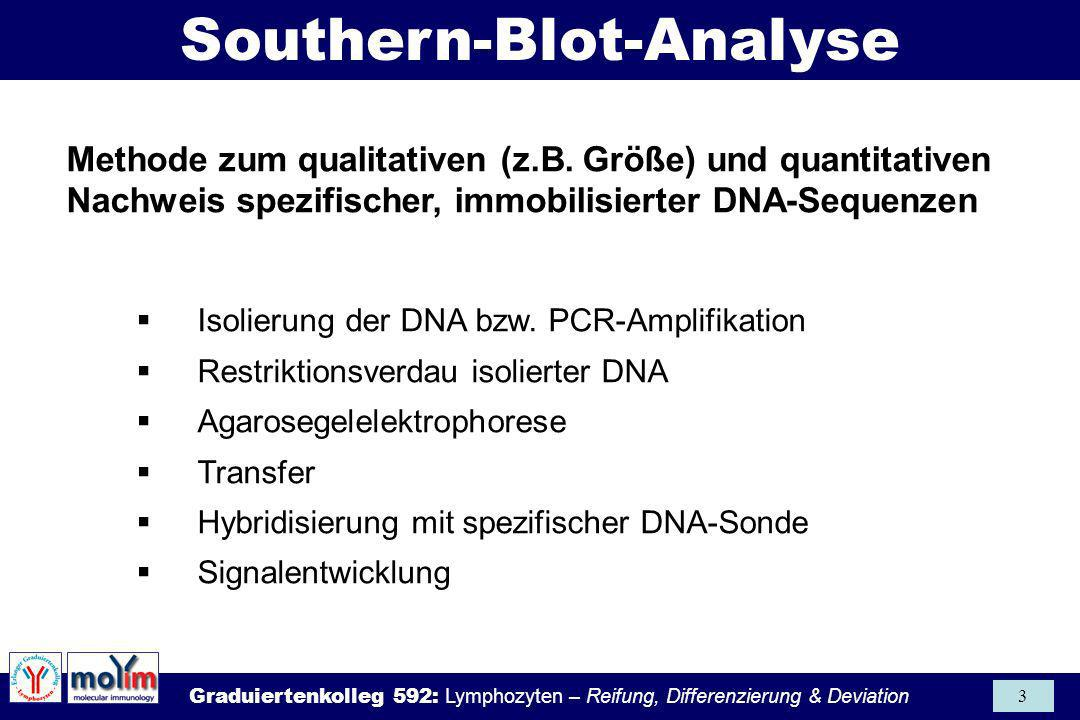 Southern-Blot-Analyse