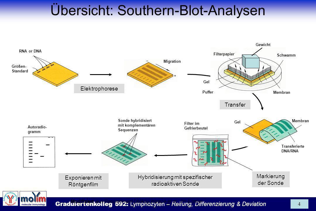 Übersicht: Southern-Blot-Analysen