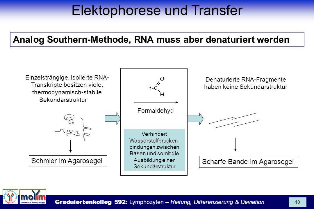 Elektophorese und Transfer