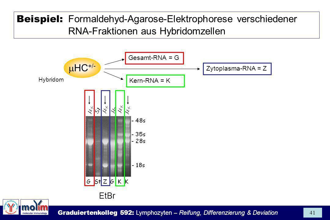 Beispiel: Formaldehyd-Agarose-Elektrophorese verschiedener RNA-Fraktionen aus Hybridomzellen