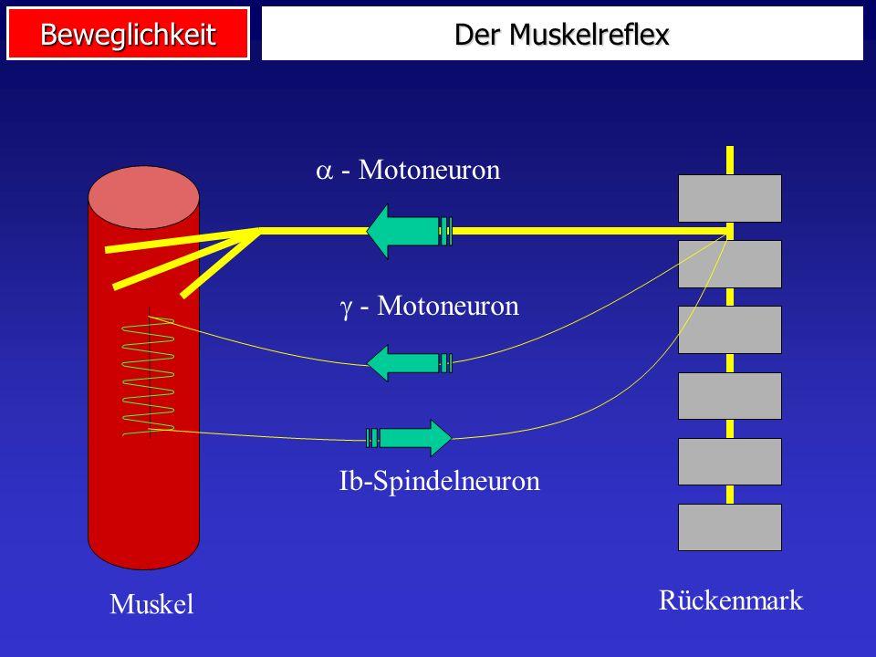 Der Muskelreflex  - Motoneuron Rückenmark Muskel  - Motoneuron Ib-Spindelneuron