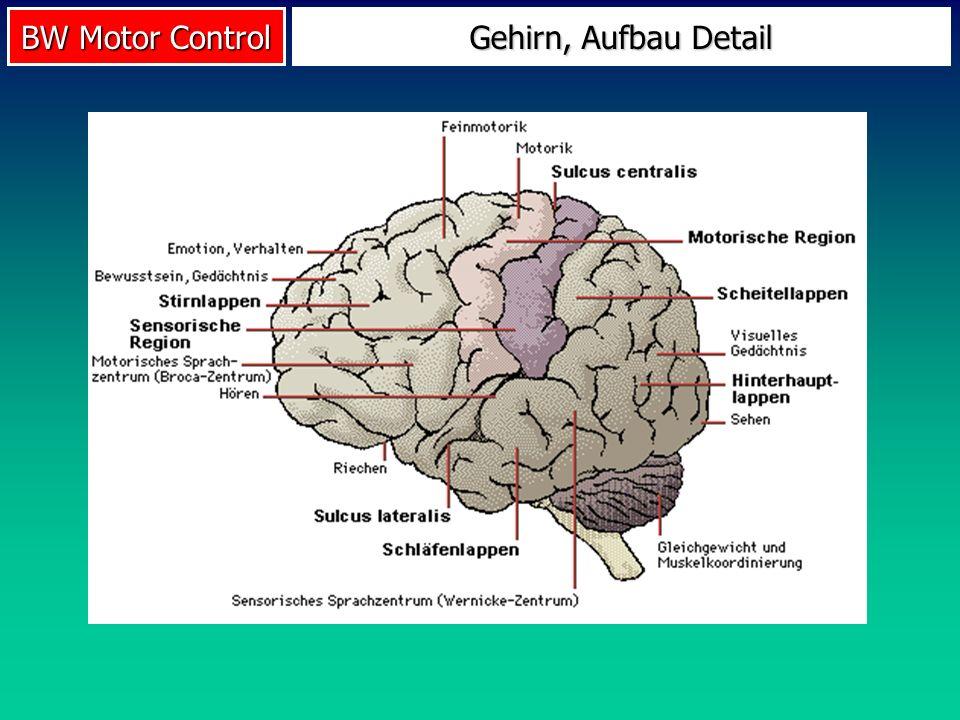 Gehirn, Aufbau Detail
