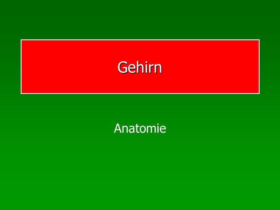 Gehirn Anatomie
